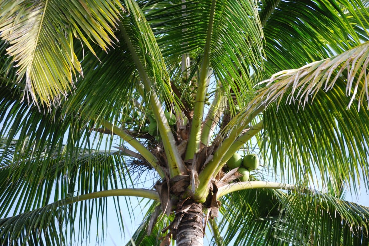 palm tree, palm, summer, nature, coconut, leaf, paradise