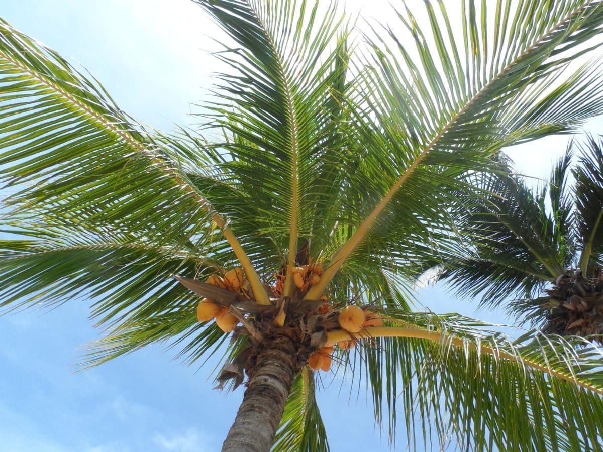 kookos, kesä, luonto, puu, palmu, paratiisi, taivas