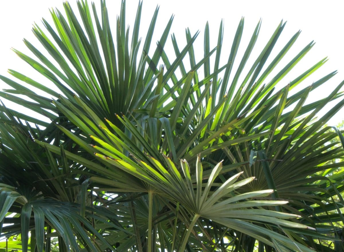 nature, summer, green leaf, tree, plant, palm