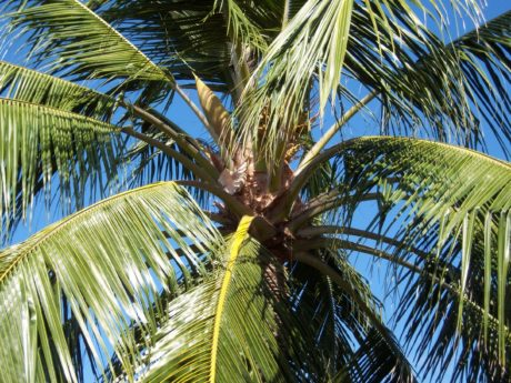 tree, coconut, paradise, palm tree, beach, exotic, summer, sun