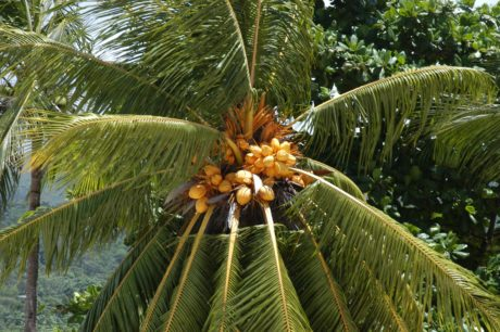 summer, coconut, nature, leaf, exotic, palm tree, branch, plant
