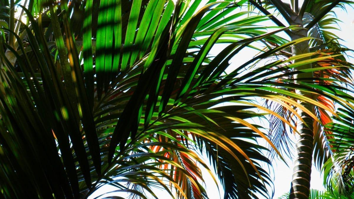 palm tree, plant, paradise, blue sky, shadow, green leaf