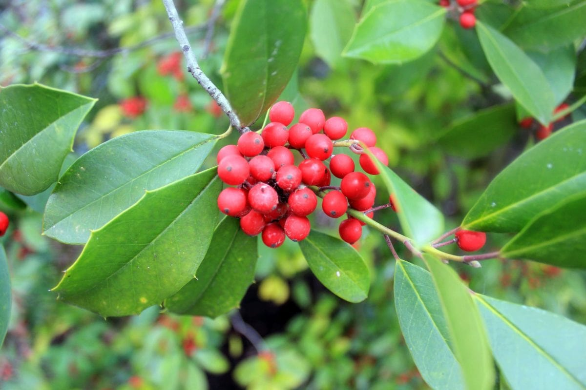 nature, tree, garden, branch, leaf, berry, plant, outdoor