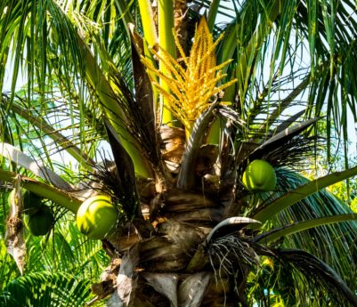 palm tree, nature, coconut, green leaf, exotic, plant, outdoor