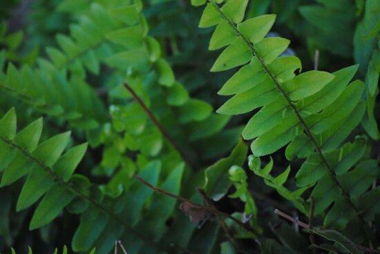 natur, blad, bregne, skygge, dagslys, plante, tre, skog, løvverk, utendørs