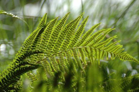 околна среда, лято, зелени листа, природа, папрат, растение, гора, дърво, екология