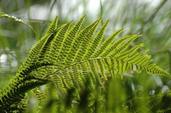 miljø, sommer, Green Leaf, natur, bregne, anlegg, skog, Tree, økologi