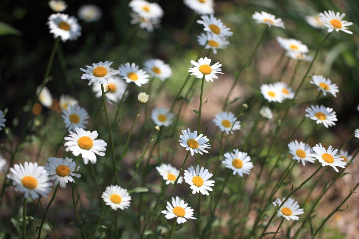 field, garden, chamomile, grass, nature, flower, summer, herb