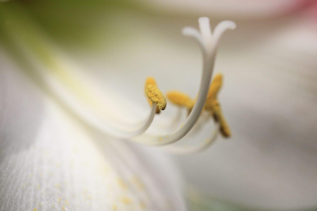 white lily, pollen, pistil, detail, nature, flower, shadow
