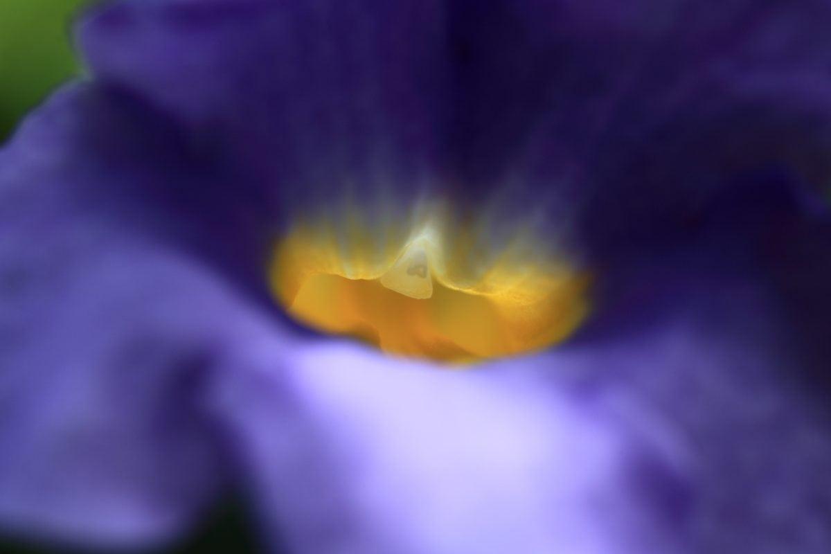 nature, blue flower, pistil, pollen, petal
