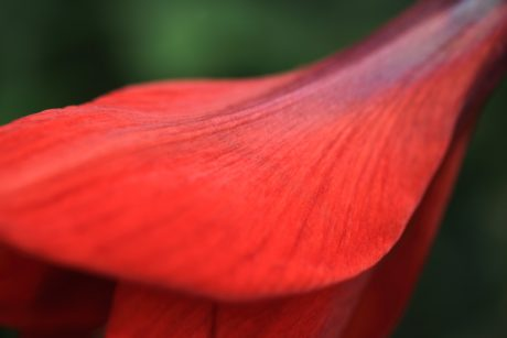 red petal, nature, summer, flower, petal, amaryllis, plant