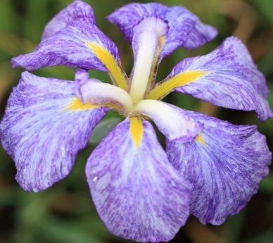 여름, 잎, 정원, 자연, 아름 다운, 꽃잎, 꽃, 아이리스