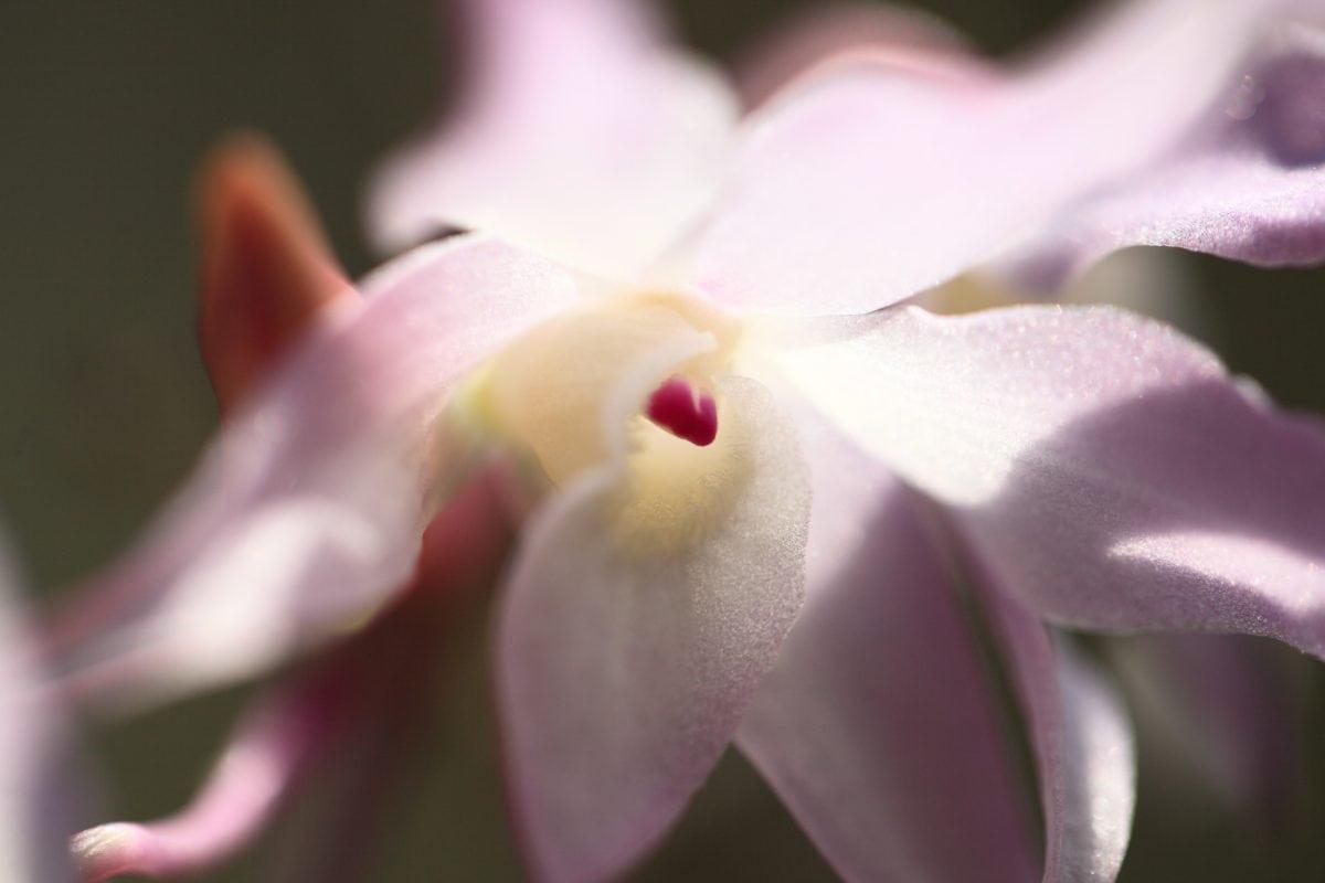 венчелистче, плодник, Градина, природа, красива, розово цвете, растение, розово, разцвет