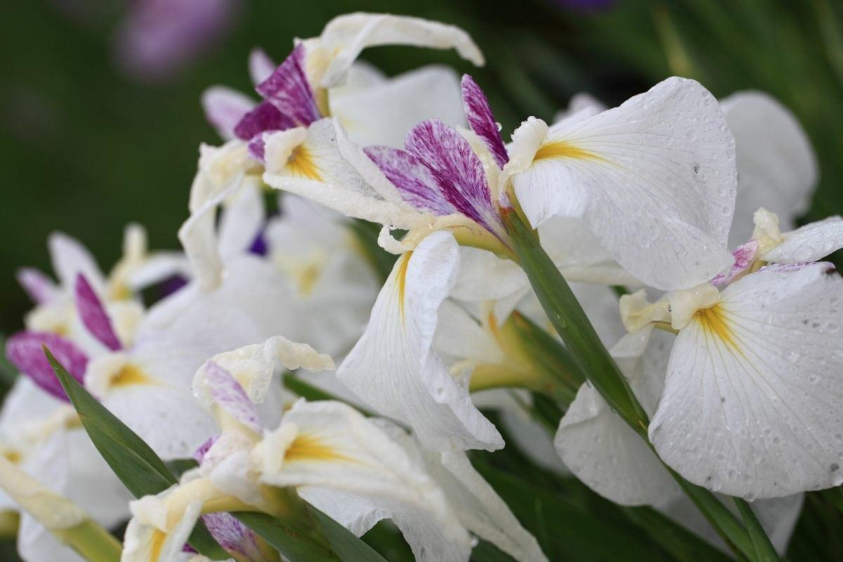 Petal, gradina, natura, flori, frunze verzi, vara, Rhododendron