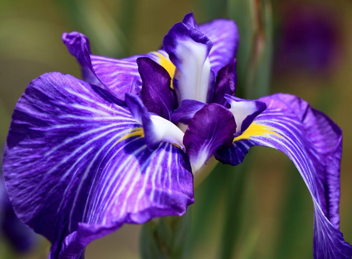 sommar, trädgård, blomma, kronblad, blad, natur, blå iris, växt