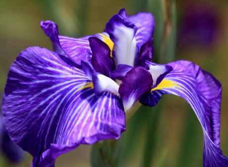 summer, garden, flower, petal, leaf, nature, blue iris, plant