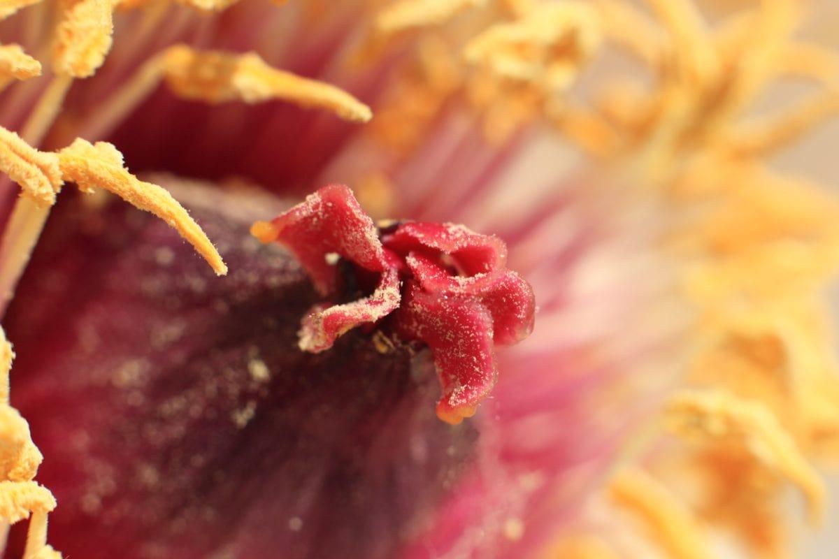 priroda, žuti cvijet, pistil, pelud, detalj, biljka, vrt