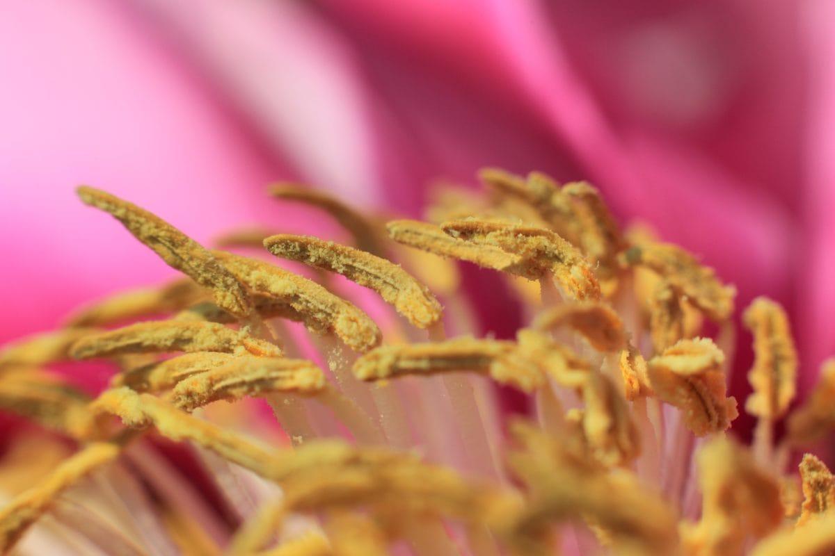 Pistil, pollen, részletek, természet, vörös virág, Kertészet