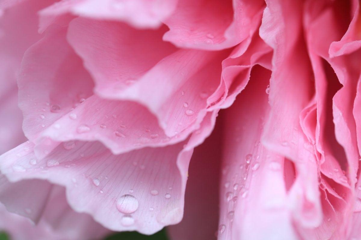 Rose, natur, blomst, pink Camellia, lyserød, kronblad, plante, dug, regn