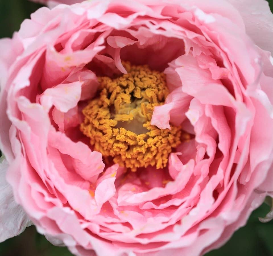 Роза, Лепесток, цветок, природа, травы, Садоводство, экология, розовый