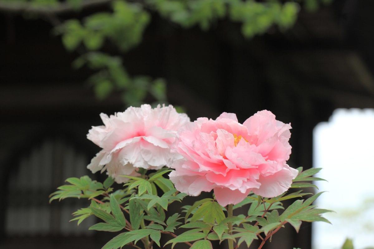 feuille, pétale, rose, jardin, nature, fleur, rose, plante, fleur