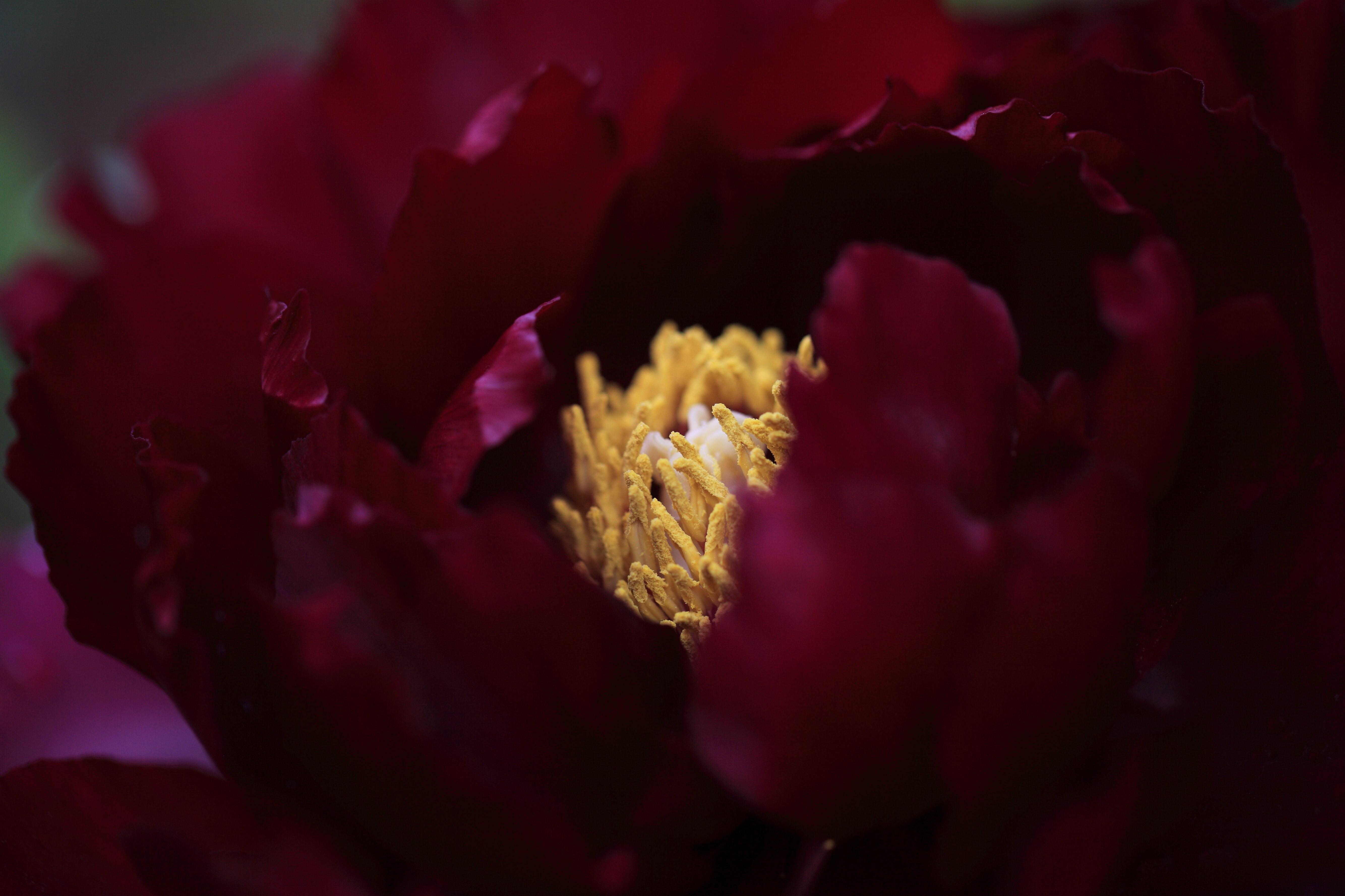 Image libre: nature, jardin, ombre, obscurité, fleur, rose, pétale ...