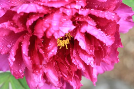 flower, nature, dew, rain, summer, beautiful, garden, pink, petal