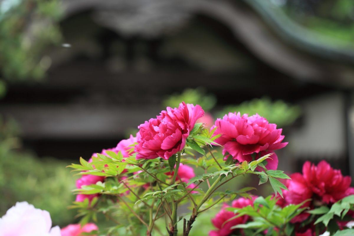 peony flower, garden, leaf, summer, nature, red flower, pink, plant, petal