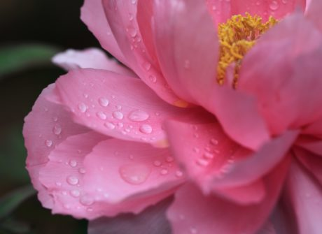 dew, flower, nature, rose, leaf, camellia, pink, plant, petal