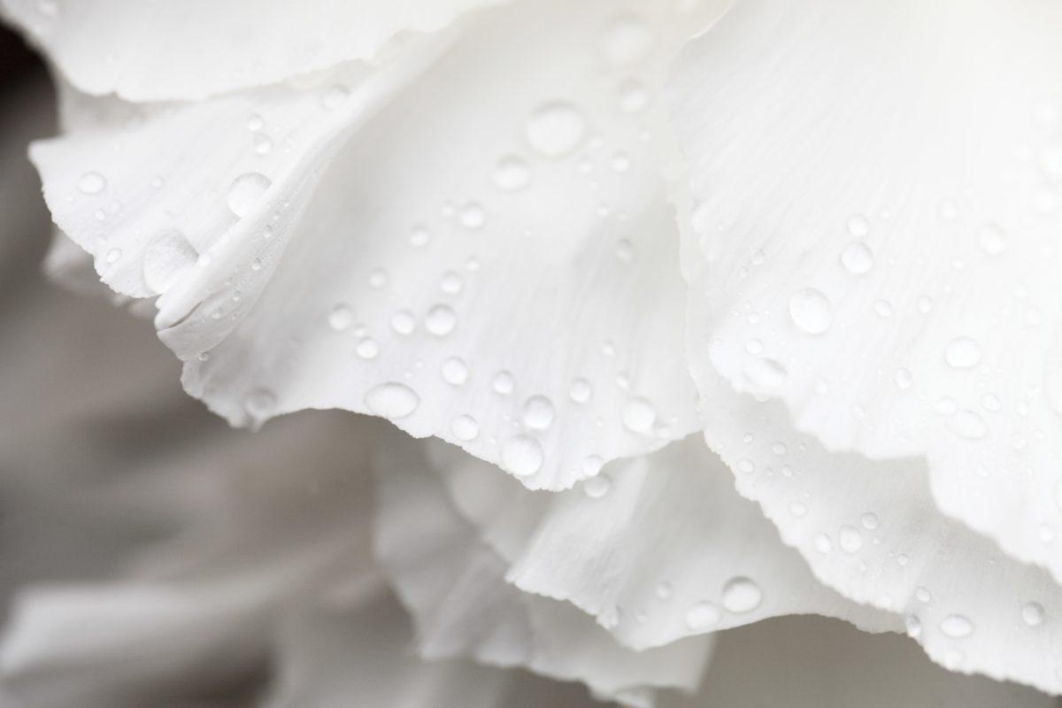dew, nature, white rose, flower, petal