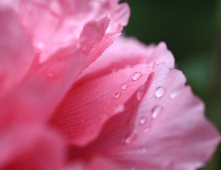 kiša, Rosa, lijepa, ljetna, vrt, cvijet, list, priroda