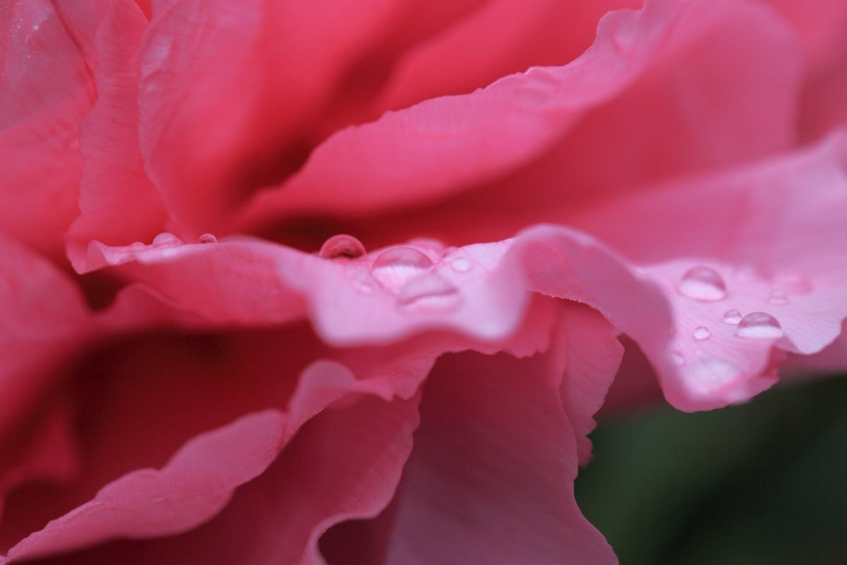露、葉、花、バラ、自然、花びら、ピンク、植物、庭