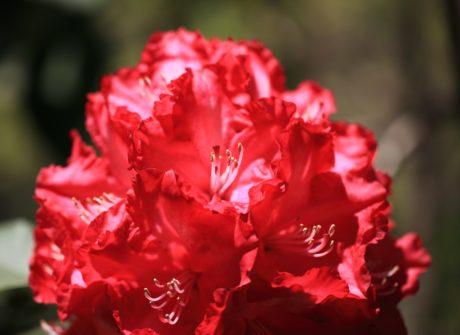 leaf, nature, flower garden, rhododendron, plant, petal, pink