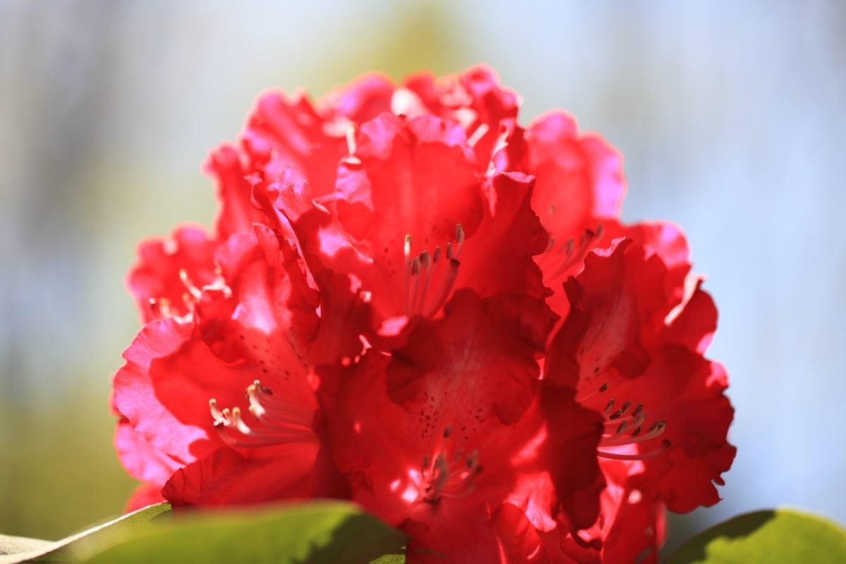 cvijet, priroda, ljeto, zeleni list, roza, dnevna svjetlost, latica, biljka, vrt