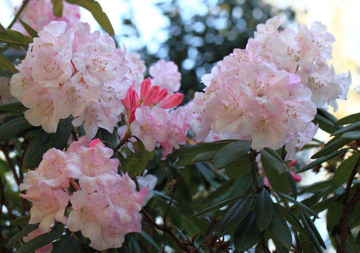 잎, 자연, 정원, 꽃, 진달래, 식물, 담홍색, 꽃