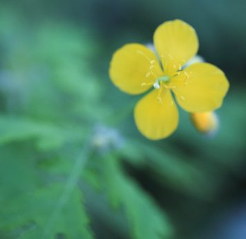 summer, buttercup flower, leaf, flower, nature, herb, plant, blossom