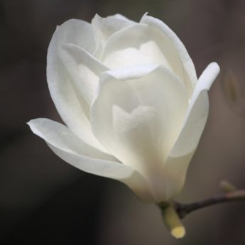 bunga, magnolia, musim panas, daun, alam, kelopak putih