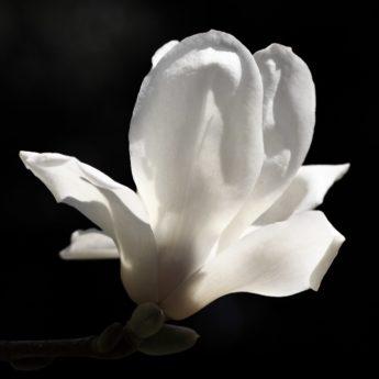 flower, white magnolia, nature, white, plant, bloom, petal