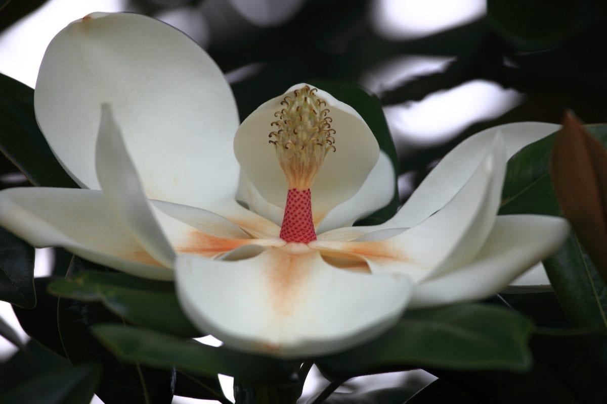naturaleza, hoja, horticultura, ecología, flor blanca, árbol, planta