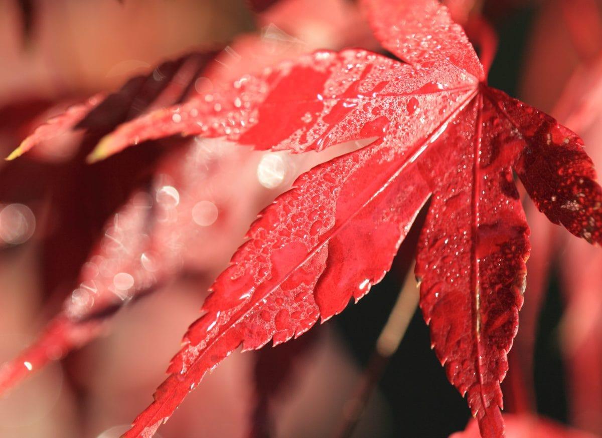 зима, роса, дерево, дощ, природа, червоний аркуш, мокрий, сад