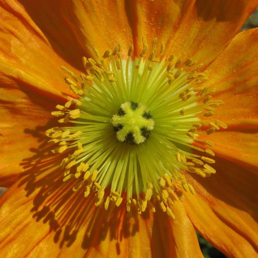 Natura, żółty kwiat, Płatek, roślina, kwiat, pyłek, ogród, kwiat