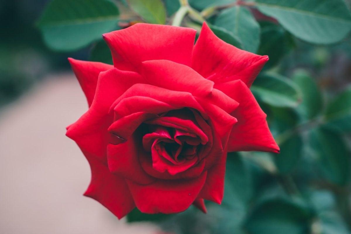 jardin, rose rouge, nature, pétale, feuille, bourgeon de fleur, plante, fleur