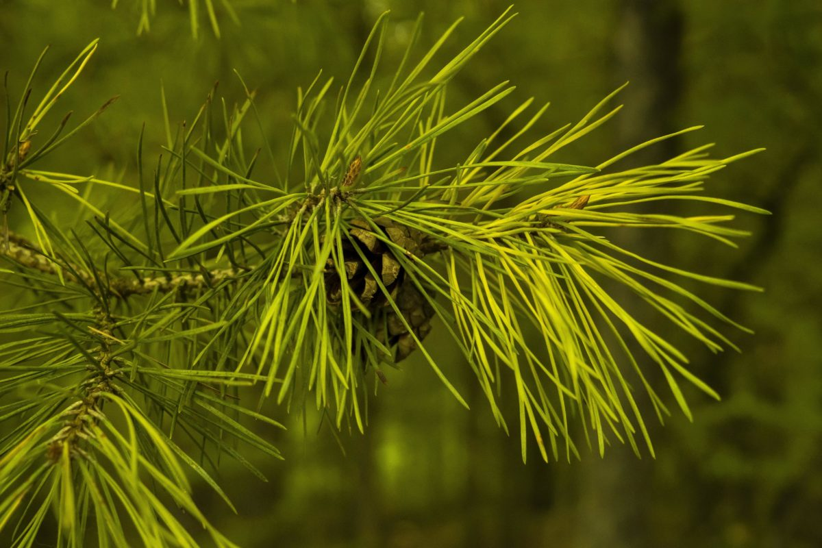 pine, green leaf, branch, nature, conifer, tree, evergreen, plant