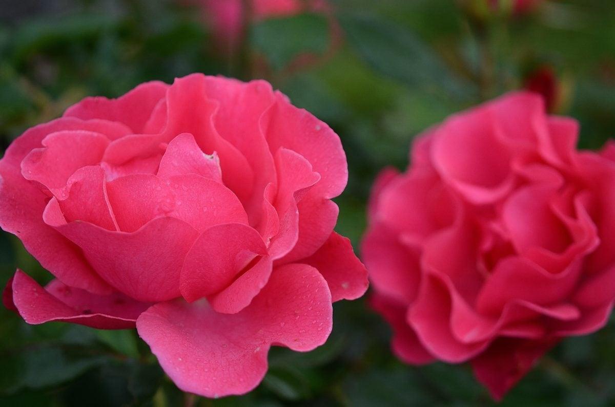 Kamelija, crvena latica, priroda, list, cvijet, biljka, roza, Hortikultura