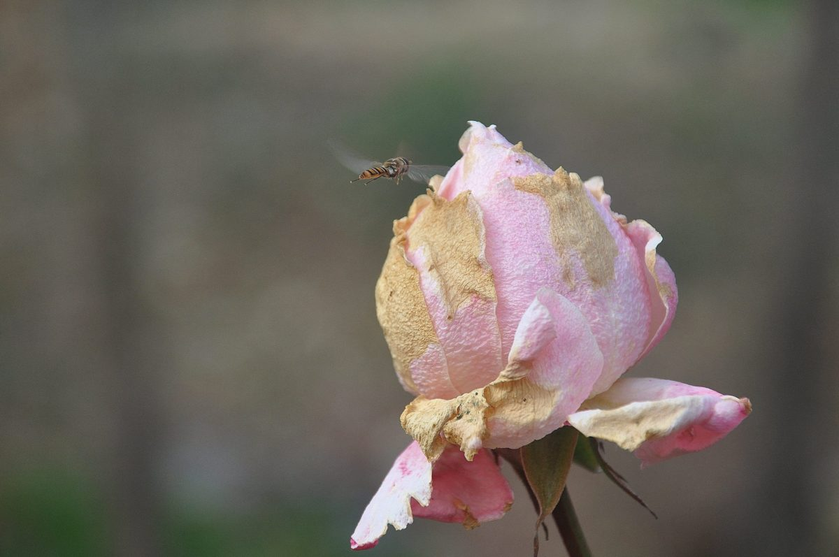 nature, flower, leaf, rose, bee, insect, plant, blossom, garden