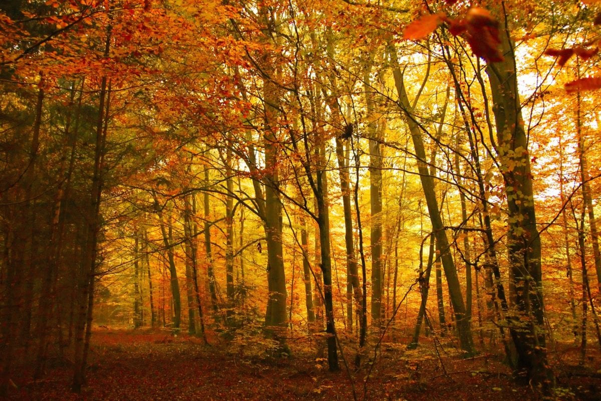 pohon, daun, kayu, hutan, bayangan, sinar matahari, musim gugur, birch, lanskap, dedaunan