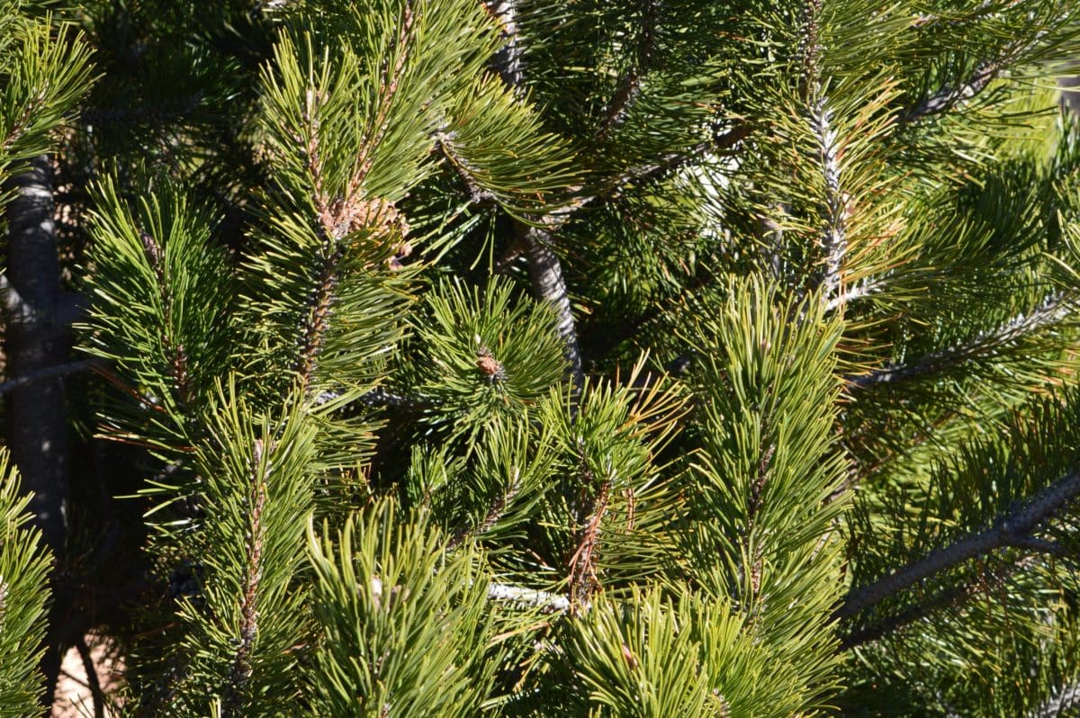 nature, evergreen, conifer, branch, pine, tree, plant, forest