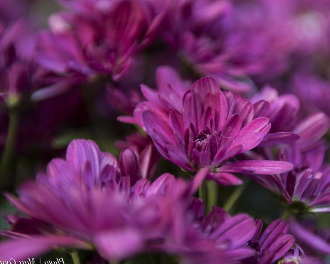 ungu bunga, kelopak, alam, musim panas, daun, Taman, pink, tanaman