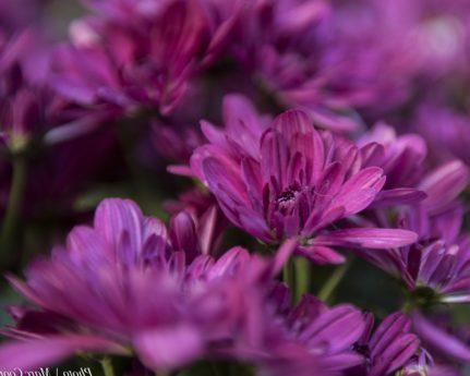 fleur pourpre, pétale, nature, été, feuille, jardin, rose, plante