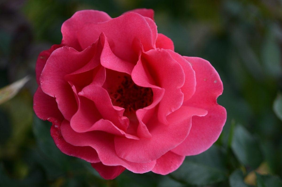 fleur, rose rouge, jardin, nature, pétale, plante, rose